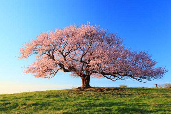 岩手 亀ヶ森の桜