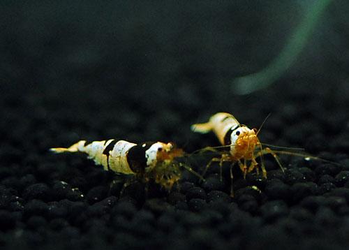 シャドービー 001 HALshrimp