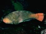 ブダイ成魚