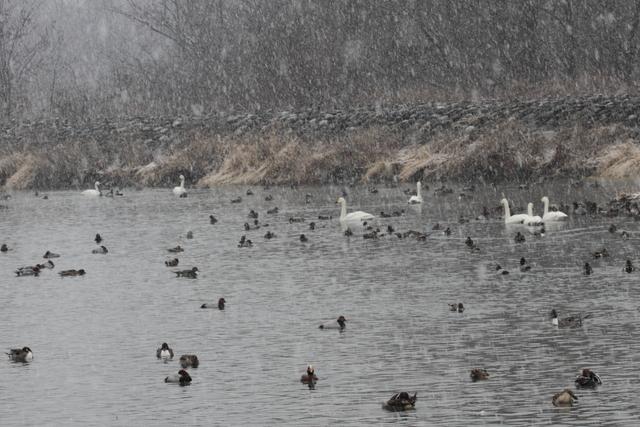 白鳥たち (1)