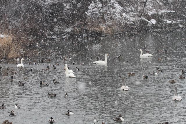 白鳥たち (2)