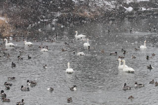 白鳥たち (3)
