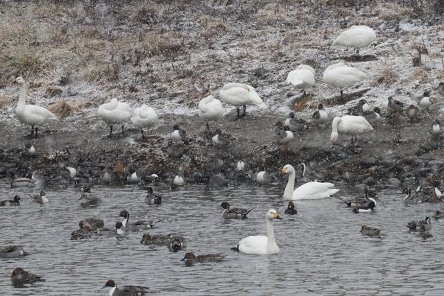 白鳥たち (4)