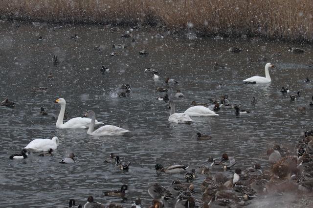 白鳥たち (6)