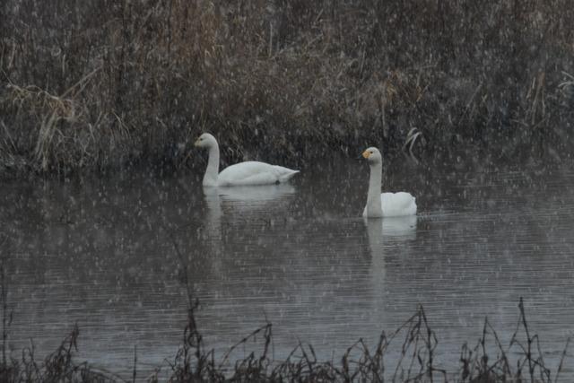 白鳥たち (9)