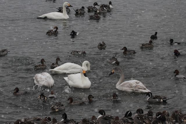 白鳥たち (10)