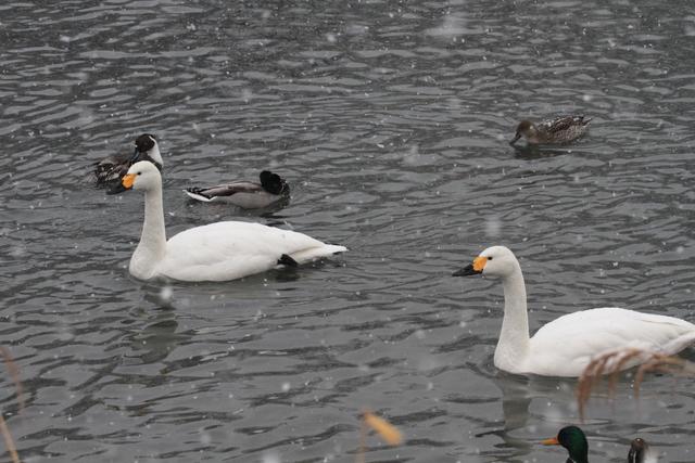 白鳥たち (11)