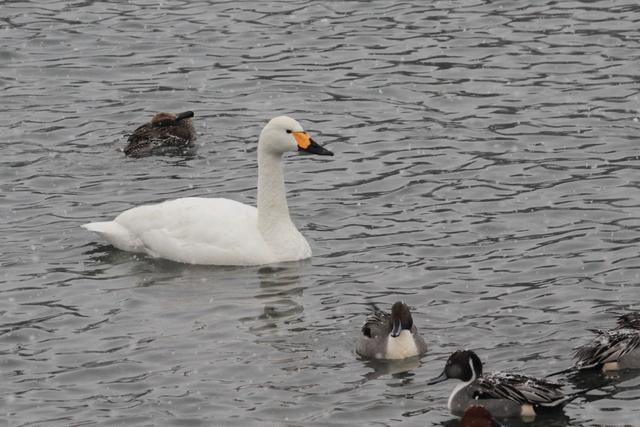 白鳥たち (12)