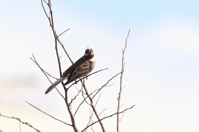 シラガホオジロ (2)