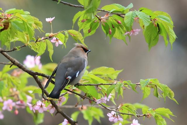 桜とキレンジャク (2)