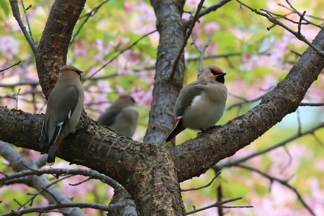 桜とキレンジャク (5)