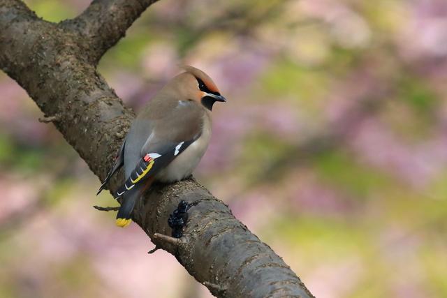 桜とキレンジャク (6)