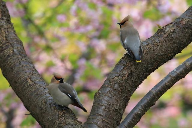 桜とキレンジャク (11)