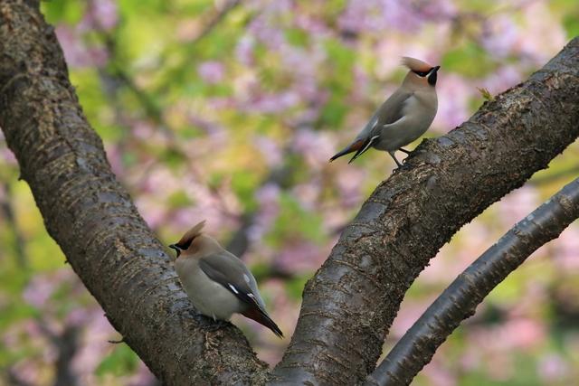 桜とキレンジャク (12)