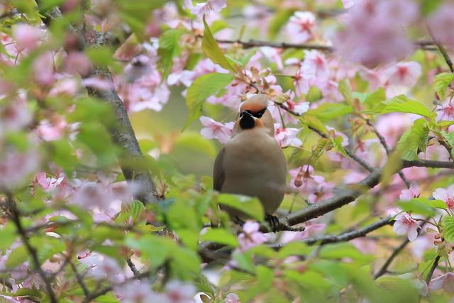 桜とキレンジャク (15)