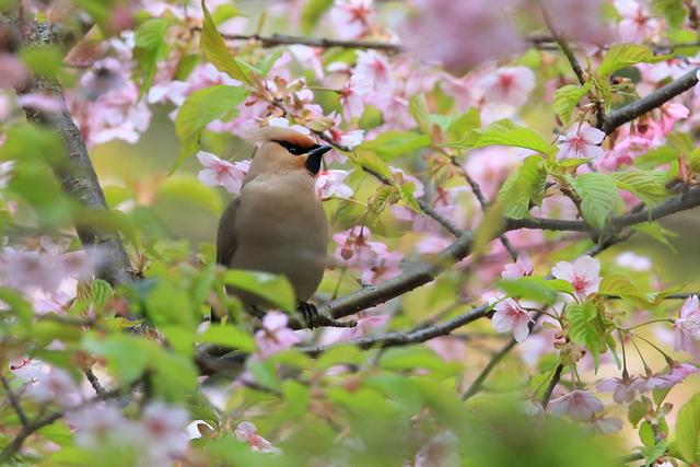 桜とキレンジャク (16)