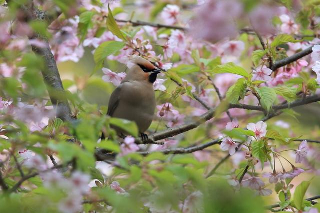 桜とキレンジャク (18)