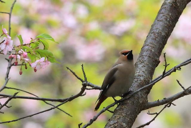 桜とキレンジャク (21)