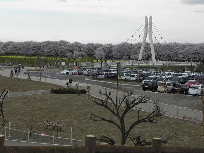 外野橋から見た桜堤