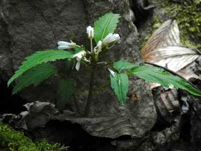 1シオジ不明な花