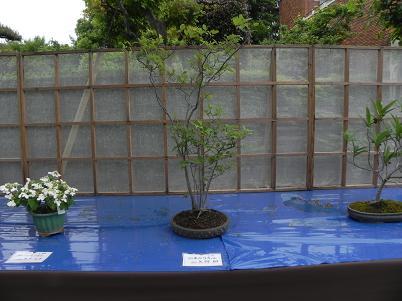 アブラチャンの盆栽