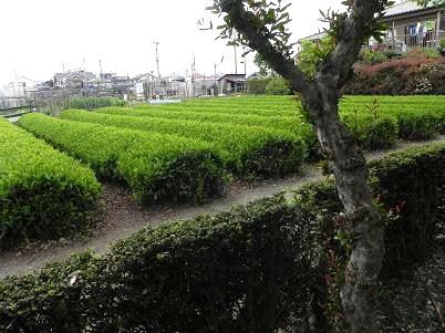 隣のお茶畑