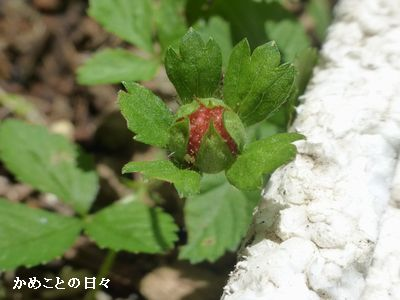 P1230672-ichigo.jpg