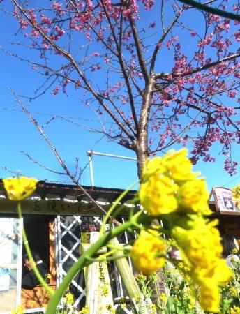 01菜の花と河津桜