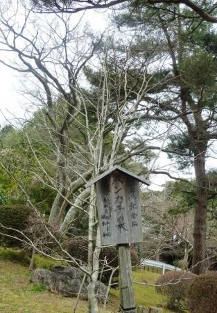 30ハンカチの木