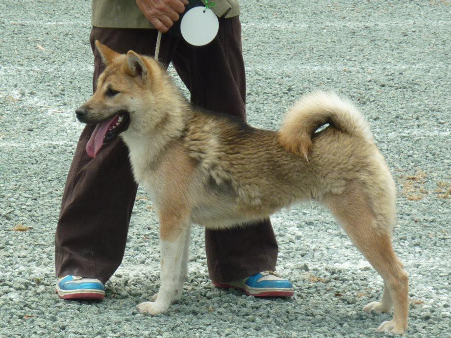 201505紀州犬審査会見学-04
