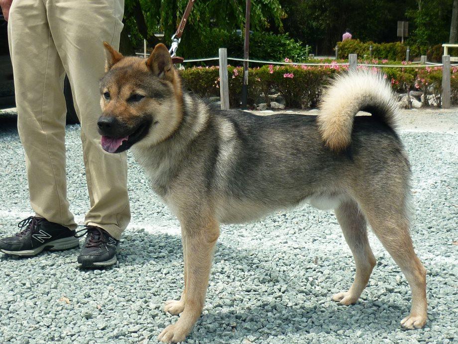 201505紀州犬審査会見学-07