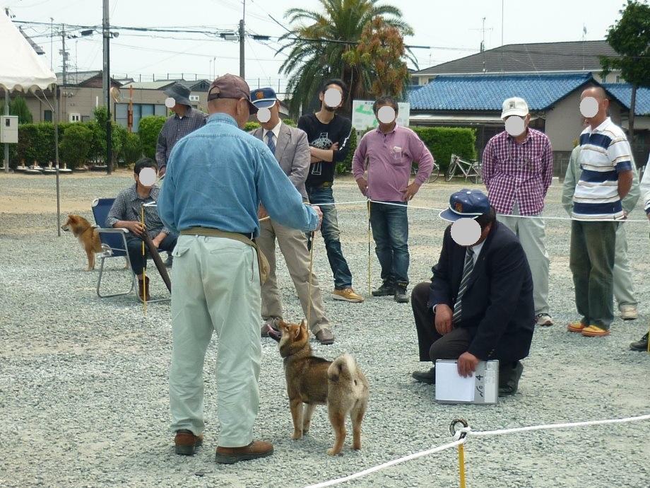 201505紀州犬審査会見学-11
