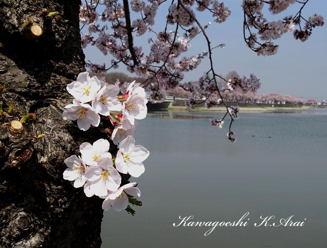 沼の咲花・・・