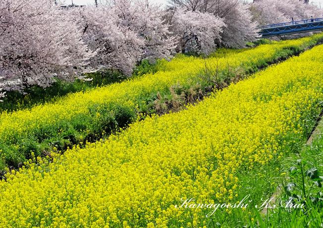 桜満開と菜の花