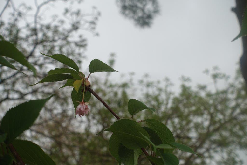 coria sakura hagi sakura