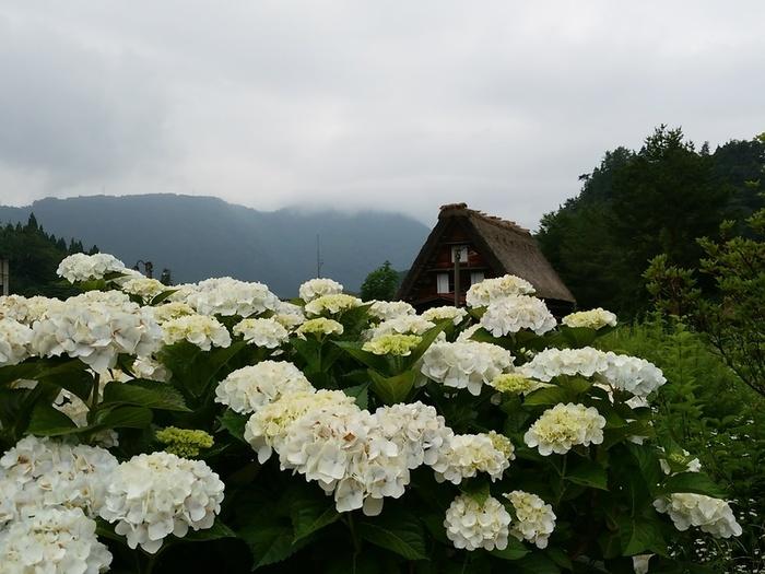 梅雨明けが待ち遠しいこの季節!白川郷 ④