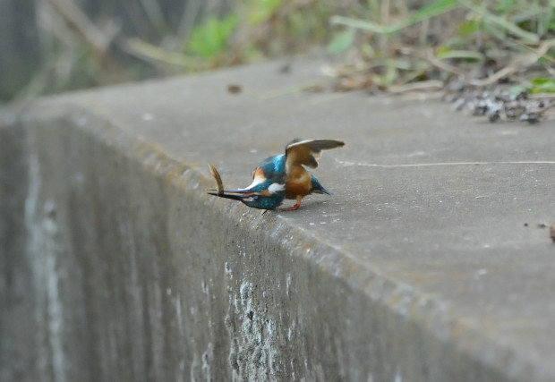 カワセミ餌22015-07-26_01