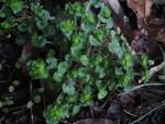 Chrysosplenium japonicum