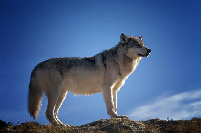 wolf-142173_640.jpg