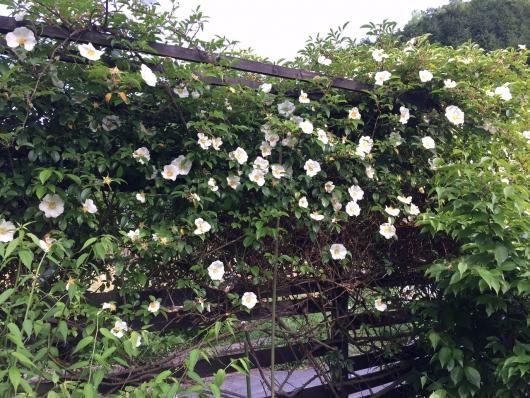 今年も咲きました白いバラ