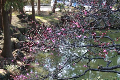 白鷺池の紅梅