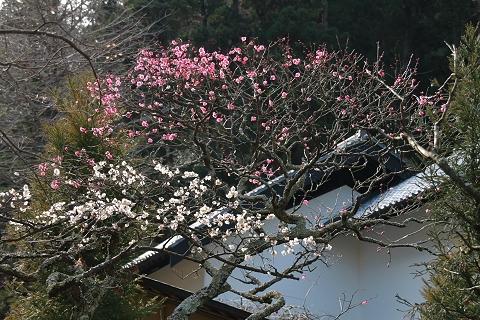 東慶寺の白梅・紅梅