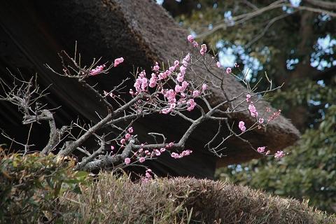 長寿寺の紅梅