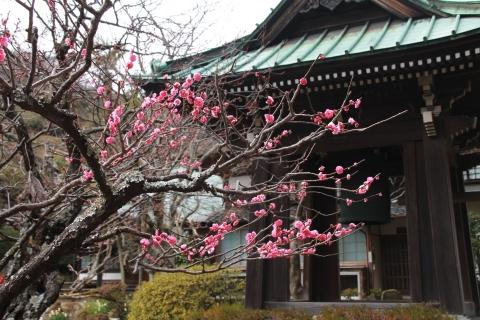 海蔵寺の紅梅