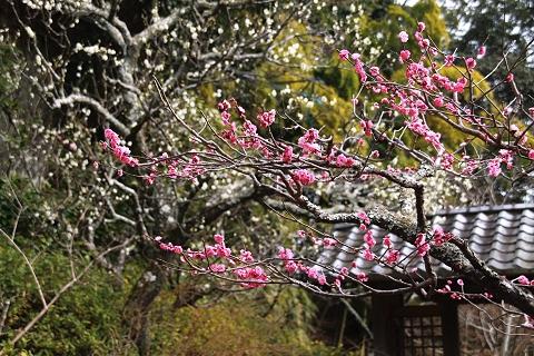 海蔵寺の白梅・紅梅
