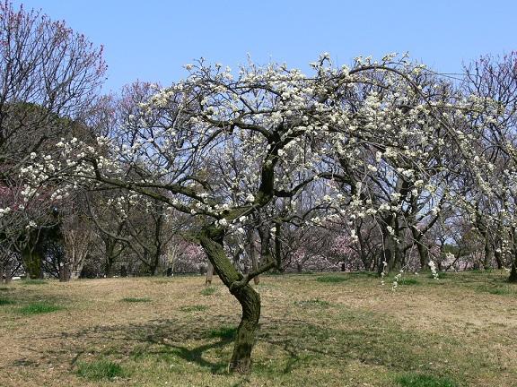 白い枝垂れ梅。