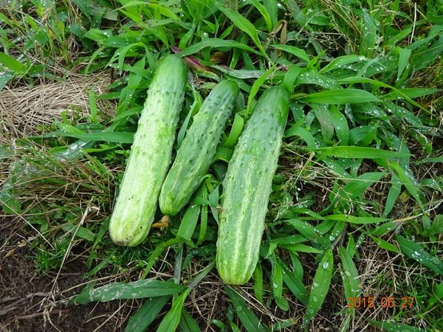 自然農法のキューリ