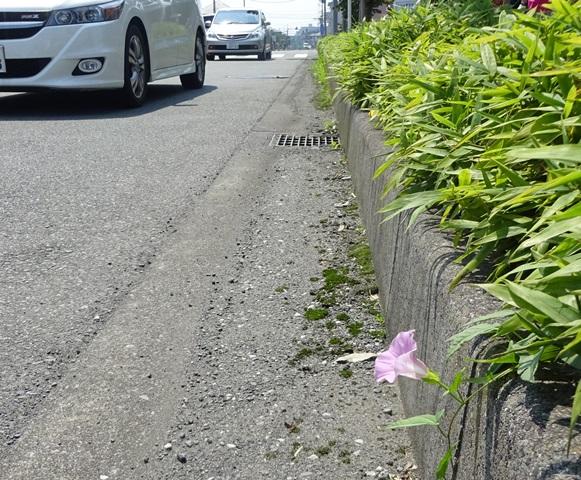 ビッグボーイ近くの道路に咲くあさがお