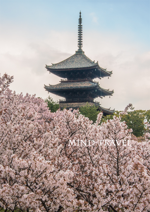 仁和寺 お多福桜