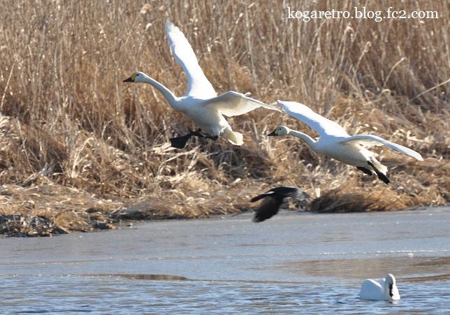 多々良沼の白鳥2